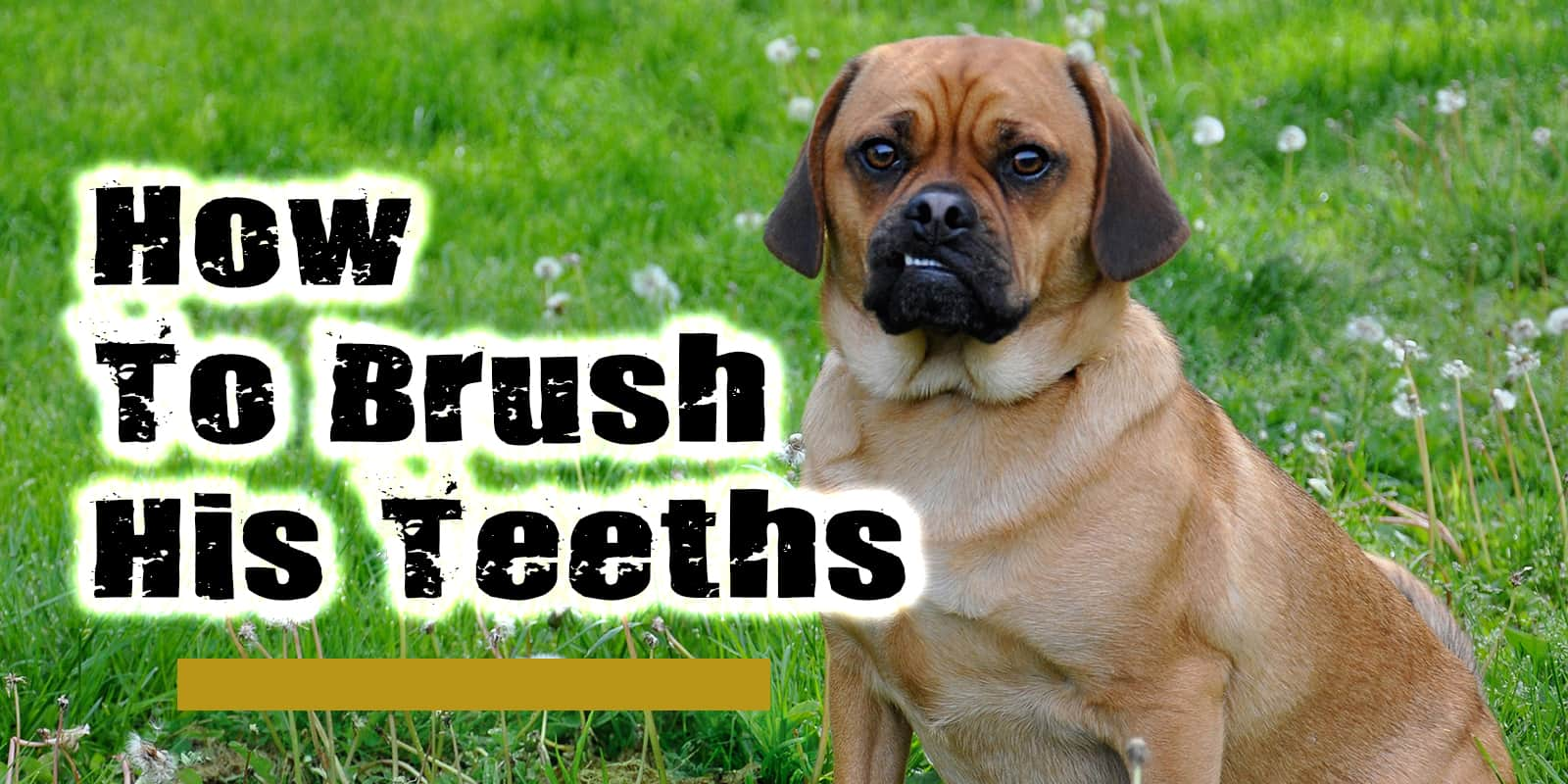 How To Brush Your Dogs Teeths